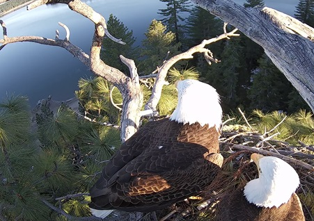 Pair of Bald Eagles in a nest high up in a tree