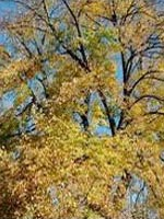 American Linden fall color