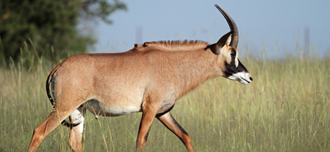 Eland on the refuge