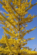 Autumn Gold Ginkgo fall color