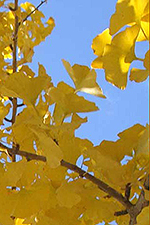Autumn Gold Ginkgo leaves