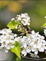Chanticleer Pear flowers