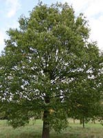 Chestnut-leaf Oak