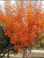 Chinese Pistache fall color