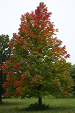 Columnar Red Maple fall color