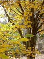 European Hornbeam fall color