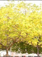 Goldenrain Tree fall color
