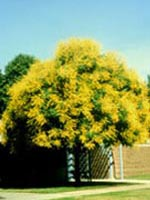 Goldenrain Tree