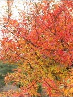 Japanese Crabapple fall color