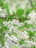 Japanese Snowbell flowers