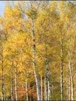 Japanese White Birch fall color