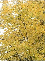 Little Leaf Linden fall color