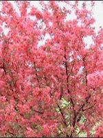 Prairifire Crabapple fall color