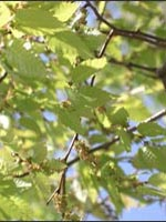 Sawleaf Zelkova leaves