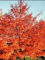 Shantung Maple fall color