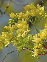 Shantung Maple flowers