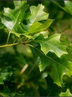 Shumard Oak leaves