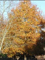 Willow Oak fall color